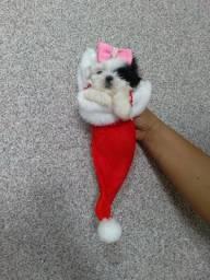 Shitzu fêmea branca é um pouco de preto mini !!
