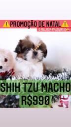 Maravilhosa Promoção Shih Tzu macho mini R$990 contrato garantia!