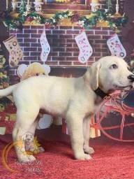Lindos Filhotes de Labradores
