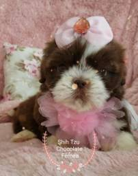 Filhote de shihtzu fêmea cor chocolate! Fotos reais!