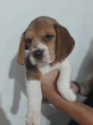 Filhotes Beagle 13 Polegadas Pedigree Garantia de saude
