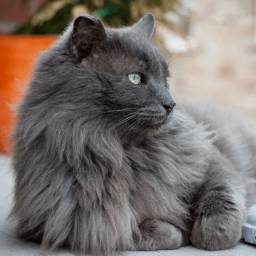 Procuro filhote de gato nebelung