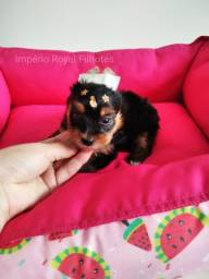 Yorkshire Terrier Fêmea com Pedigree e Vacinada!  Entregamos em Ribeirão Preto