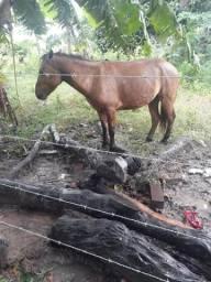 Cavalo piquira