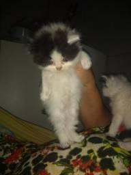 Vendo lindos gatos persa