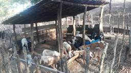 Rebanho de 20 ovelhas Santa Inês e 5 cabras