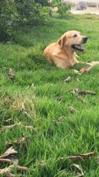Labrador macho p/ cruzar