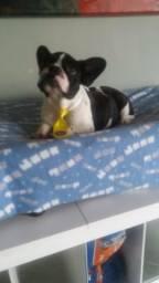 Bulldog frances 10 x sem juros