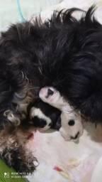 Vendo filhote femea lhasa apso
