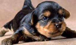 Yorkshire Terrier Macho Ah Pronta Entrega