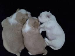 Vende-se filhotes de  pai Shitzu  e mãe lhasa apso 3 machos