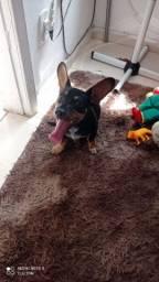 Cachorro Pincher Eli e o 3