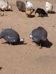 Casal de Gansos -Casal de Perus-Casal de galinhas de angola