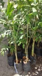 Título do anúncio: Palmeira rabo de raposa com 1,50 cm
