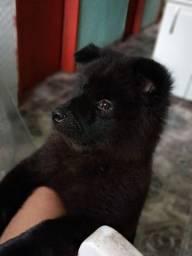 Um cachorro de ração um Chow Chow.