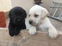 Filhotes de raça Labrador