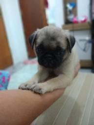 Linda filhote pug - raça dócil - 2019