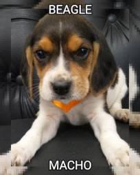 Temos beagle macho