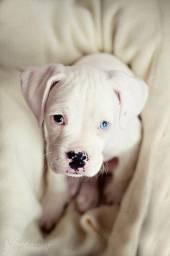 Pitbull red nose/ black/ blue, machos e fêmeas padrão gigante, com garantia e suporte vet!