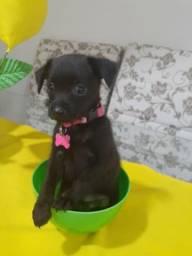 Vendo um casal de pinscher com poodle *