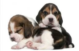 Fofos filhotes de Beagle machinhos