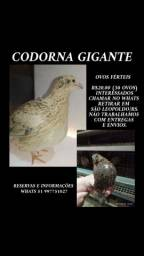 OVOS férteis e FILHOTES de CODORNA GIGANTE