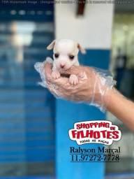 Chihuahua, filhotes com assist. veterinária gratuita 24hrs 12 clínicas