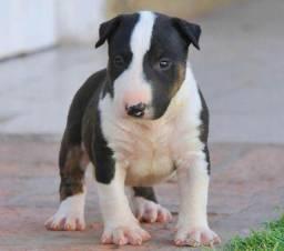 Bull terrier inglês com garantias e pedigree