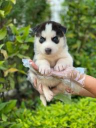 Husky Siberiano a pronto entrega (11)9.7796.1054