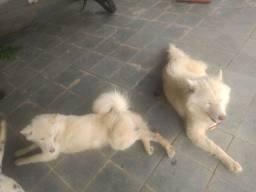 Vendo ou troco por lulu da Pomerânia um casal de husky siberiano branco dos olhos azuis
