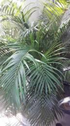 Plantas Naturais - Palmeira