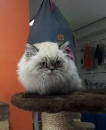 Lindos filhotes de gatos persa e himalaia padrão da raça - Milena.D