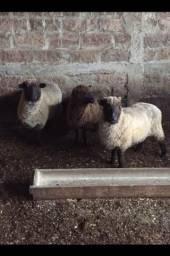 Ovelhas boas