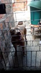 American pit bul terrier