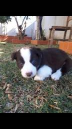 Machos Border Collie olhos claros cor chocolate