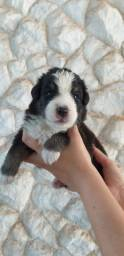 Filhotes de Australian Shepherd para venda!!!