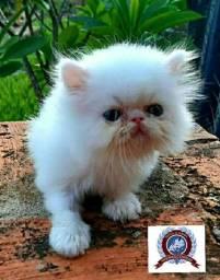 Filhote de Gato Persa Branco