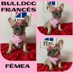Linda Fêmea de Bulldog Francês Blue Fawn c/ Microchipe / Garantia / Parcelado 12x