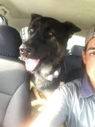 Labrador com pr alemão