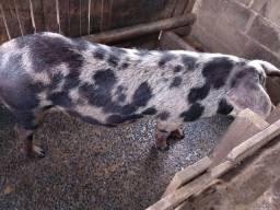Vendo porca Piau