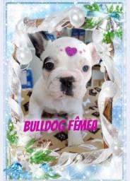 Bulldog francês fêmea belíssima