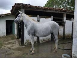 Égua Mangalarga Marchador registrada no definitivo