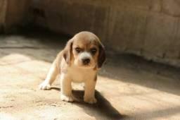 Beagle macho com manual de cuidados