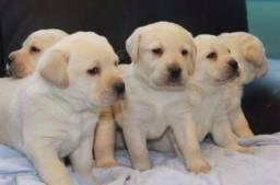 Filhotes de Labrador lindos super companheiros !!