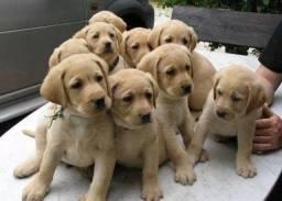 Título do anúncio: Labrador disponíveis, adquira já seu bebê