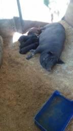 Porca caipira com filhotes