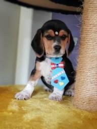 Beagle Tricolor Machinho da Foto