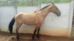 Égua mangolina