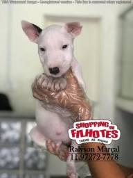 Bull Terrier Inglês, filhotes com assist. veterinária gratuita 24hrs 12 clínicas