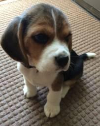 Beagle Macho venha visitar nossas clinica e se apaixonar